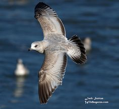 Mew Gull | Flickr - Photo Sharing!