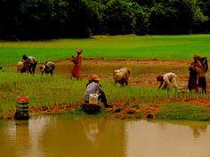 Ladies working the rice fields in Siem Reap (Photo: Melissa Hirst)