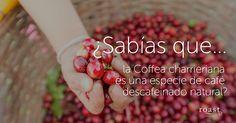 ¿Sabías que... la Coffea charrieriana es una especie de café descafeinado natural?