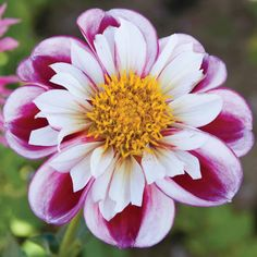 Dahlia 'Royal Bumble' from Thompson & Morgan - experts in the garden since 1855 Rare Flowers, Bulb Flowers, Exotic Flowers, Amazing Flowers, Beautiful Flowers, Zinnias, Dahlias, Herbaceous Perennials, Gladioli