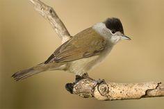 Blackcap Sylvia atricapilla (male)