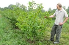 Reviving American Chestnut Trees May Mitigate Climate Change -- ScienceDaily