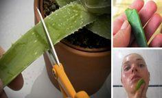 Το Aloe Vera – είναι ένα πολύ δημοφιλές φυτό εσωτερικού χώρου που έχει αγαπηθεί όχι