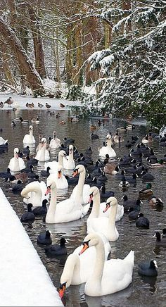 VERMONT - USA .......  St Albans Lake - swan and duck - beautiful nature shot  #photo by olivelinton on flickr