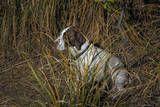 Dog in Grasses (German Shorthaired Pointer, Oakland, CA) Veggoverføringsbilde av Henri Silberman