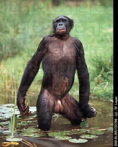 bonobo standing up - Google Search