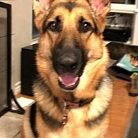 Denton Tx German Shepherd Dog Meet Raelynn A Pet For Adoption
