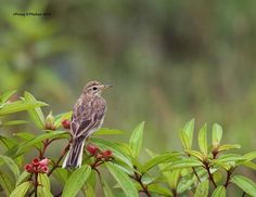 PADDYFIELD PIPIT Wildlife photographer Porag jyoti phukan shared a wonderful image on http://photos.wildfact.com, a website community for wildlife photographers only. To enjoy the image click below link to view in full mode, to join the community, see many other wildlife photographs and follow wildlife photographers. http://photos.wildfact.com/image/753/paddyfield-pipit  #wildlife #wildlifephotography #photography