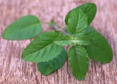 10 Benefits of Tulsi — Combats Cancer, Infections   ***   I would really like to grow my own tulsi, with a backup  package of tulsi tea. Yup, that's it...