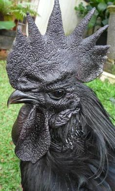 Ayam Cemani rooster   Ayam Cemani is a breed of chicken, originating in Indonesia. It is a rarely kept breed.   Darth Rooster!
