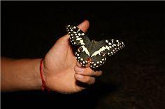 A beautiful butterfly landed on the shores of Sugar Bay. Kwazulu Natal, Holiday Resort, Beautiful Butterflies, Beautiful Creatures, Africa, Butterfly, Sugar, Nature, Naturaleza