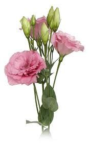Google Image Result for http://www.milagrawholesaleflowers.com/images/Lisianthus_Rose.jpg
