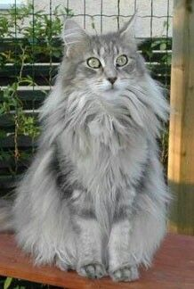 Maine Coon: Blue Classic Tabby http://www.mainecoonguide.com/