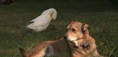 Pato faz amizade inusitada com cachorrinho deprimido por morte de 'irmão'
