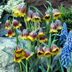 Fritilaria 'Chapel Bells' emerge in early spring with delicate, bell-shaped blooms. - Cottage Farms Direct