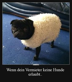 Pugs are hilarious dogs. But Pug memes in the list below are so funny that you won`t be able to stop laughing. Animals And Pets, Funny Animals, Cute Animals, Funny Dogs, Cute Dogs, Tierischer Humor, Black Pug Puppies, Dog Shirt, Animales