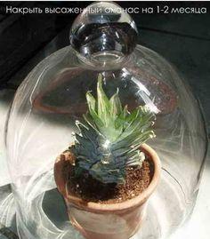 Два способа как вырастить ананас в домашних условиях | Дача - впрок