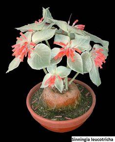 Sinningia canescens / 20 seeds (Brazilian edelweiss)