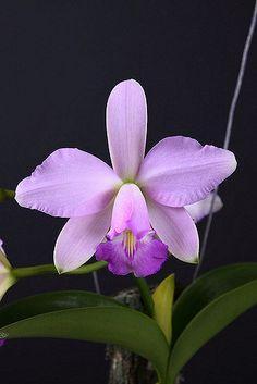 Cattleya Orchid, Bolivia Peru, Ecuador, Gerbera, Habitats, Brazil, Flowers, Nature, Plants