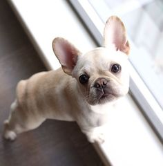French #bulldog Puppy❤️