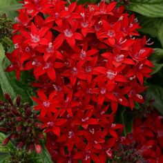 National Plant Network 4 in. Lucky Star Red Pentas Plant - The Home Depot Red Plants, Colorful Plants, Garden Plants, Garden Beds, Amazing Flowers, Red Flowers, Beautiful Flowers, Bouquet Flowers, Outdoor Flowers