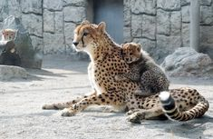 Crazy Cat Lady, Crazy Cats, Big Cats, Majestic Animals, Animals Beautiful, Cheetahs, Cool Eyes, Cute Baby Animals, Animal Photography