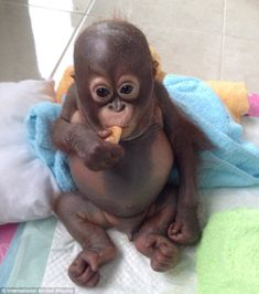 Recovery: Budi is trying new foods but hasn't learned how to chew. He enjoys sucking the juice from slices of fruit