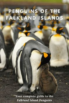 The Falkland Islands penguins are abundant in supply and diverse in nature. It is truly the best place in the world to see penguins in the wild. Find out everything you need to know about the penguins of the Falkland Islands here! #penguins #wildlife #falklandislands