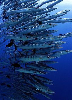 Sphyraena barracuda of the coast of Sudan, in the Red Sea. (photographer: Jackie Campbell, Ireland)