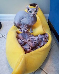 Nocoatkitty sphynx offers beautiful sphynx cats and hairless kittens for sale. Show quality TICA/CFA sphynx available in all colors including blue eyes Sphynx Kittens For Sale, Kitten For Sale, Cute Kittens, Cats And Kittens, Big Cats, Cute Baby Animals, Funny Animals, Wild Animals, Cute Hairless Cat
