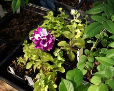 Spara petunian över vintern