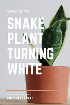 Is your snake plant turning white? Here are a few reasons why that might be happening in your own indoor garden. All Plants, Types Of Plants, House Plants, Indoor Garden, Indoor Plants, Snake Plant Care, House Plant Care, Spider Plants, Hardy Plants