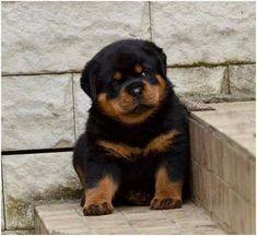 Buy & Sell ROTTWEILER puppies online https://www.dogspuppiesforsale.com/rottweiler #Rottweiler