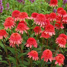 Search Results for 'Echinacea'