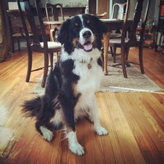 Great Bordernese (Great Pyrenees, Border Collie and Bernese Mountain Dog)