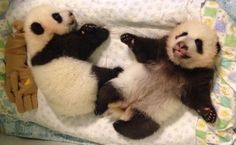 Giant panda cubs Mei Lun and Mei Huan at the Zoo Atlanta, USA on October 4, 2013.