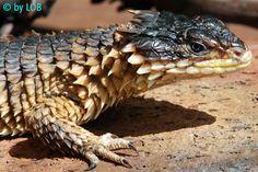 Giant-girdled-lizard - Buscar con Google