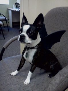 from yesterdaymy sweet boston terrier beans in her halloween costume - Halloween Costumes In Boston