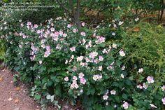 PlantFiles Pictures: Japanese Windflower, Japanese Anemone, Japanese Thimbleflower 'September Charm' (Anemone hupehensis) by KevinMc79