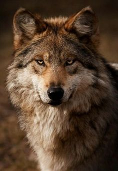 The Staredown - Mexican Gray Wolf - Photography by Scott Denny Wolf Photos, Wolf Pictures, Animal Pictures, Beautiful Creatures, Animals Beautiful, Cute Animals, Wild Animals, Wolf Spirit, My Spirit Animal