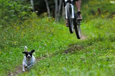 Daisy, Trail Addiction official dog, showing the path to the mountain bike riders. Mtb Trails, Mountain Bike Trails, Biking With Dog, Bike Rider, Four Legged, Puppy Love, Boston Terrier, Racing, Puppies