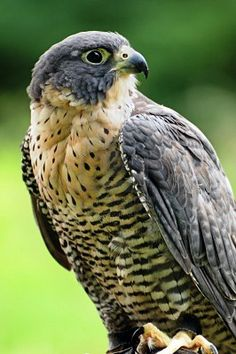 Peregrine Falcon . This dude was stalking my feeder today. He made impressive dives for unsuspecting birds.