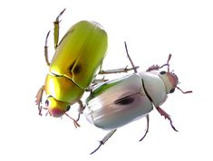 クリシナ・クリサルギレア(甲虫目:コガネムシ科:スジコガネ亜科)Chrysina chrysargyrea  金色と銀色のもの。鏡のように周りの景色を映し込んでしまうので、撮影するのが難しい。カメラのレンズがしっかりと翅の部分に黒く写りこんでいる。宝石や貴金属を美しく撮影する技術を学ばなければ・・・・・・  体長:25 mm 撮影地:モンテベルデ、コスタリカ