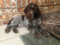 German Shorthaired Pointer German Wirehaired Pointer Pup ~ Classic Look Pointer Puppies, Dogs And Puppies, Dogs 101, Doggies, German Wirehaired Pointer Puppy, I Love Dogs, Cute Dogs, Griffon Dog, Puppy Classes