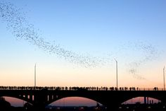 Congress Avenue bridge bats in Austin, TX - a sight to see!