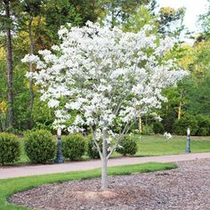 White Dogwood Tree - Cornus Florida for Sale - Brighter Blooms Nursery White Flowering Trees, Dogwood Trees, Trees And Shrubs, Kousa Dogwood, Rose Trees, Landscaping Trees, Front Yard Landscaping, Outdoor Landscaping, Acreage Landscaping