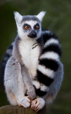 just chillin' lemur ✿⊱╮                                                                                                                                                                                 More