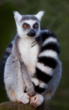 just chillin' lemur ✿⊱╮
