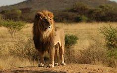 leões selvagens - Pesquisa do Google