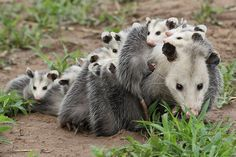The Opossum is North America's only marsupial. Animals And Pets, Baby Animals, Funny Animals, Cute Animals, Baby Possum, Opossum, Tier Fotos, Cute Creatures, Animals Beautiful